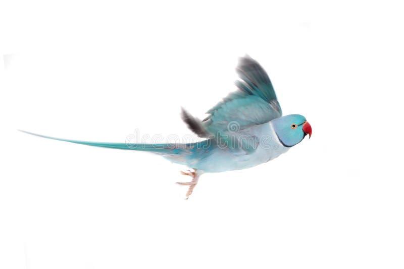 在白色的玫瑰圈状或圆环收缩的长尾小鹦鹉 库存图片