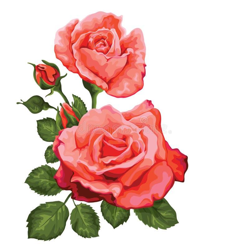 在白色的玫瑰花束被隔绝的 也corel凹道例证向量 向量例证