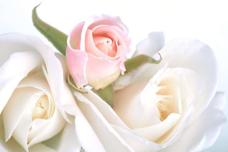 在白色的玫瑰 库存图片