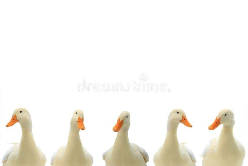 在白色的画象白色鸭子 免版税图库摄影