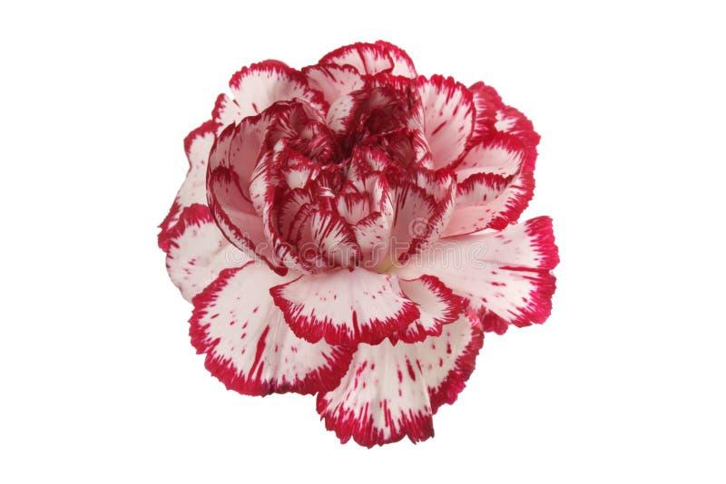 在白色的白色和红色康乃馨花 库存图片