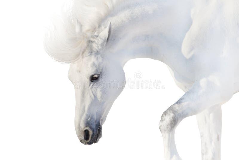 在白色的白马 免版税库存照片