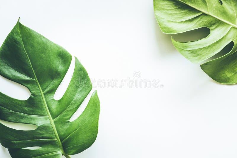 在白色的真正的热带叶子背景 植物的自然概念 库存照片