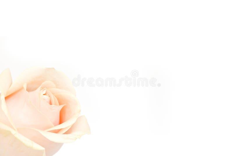 在白色的粉红色玫瑰 图库摄影