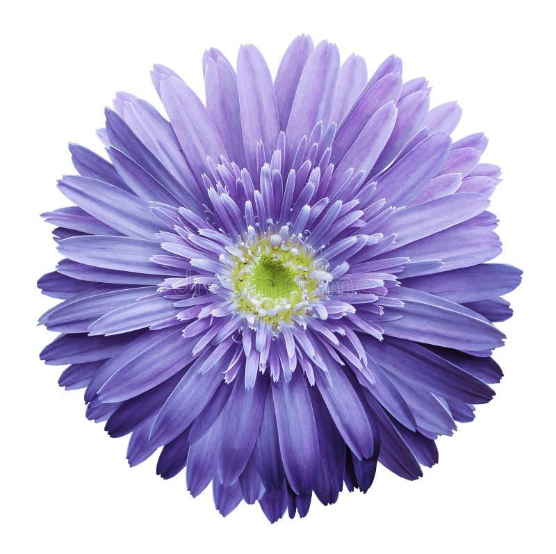 在白色的紫色大丁草花隔绝了与裁减路线的背景 特写镜头 没有影子 对设计 免版税库存照片