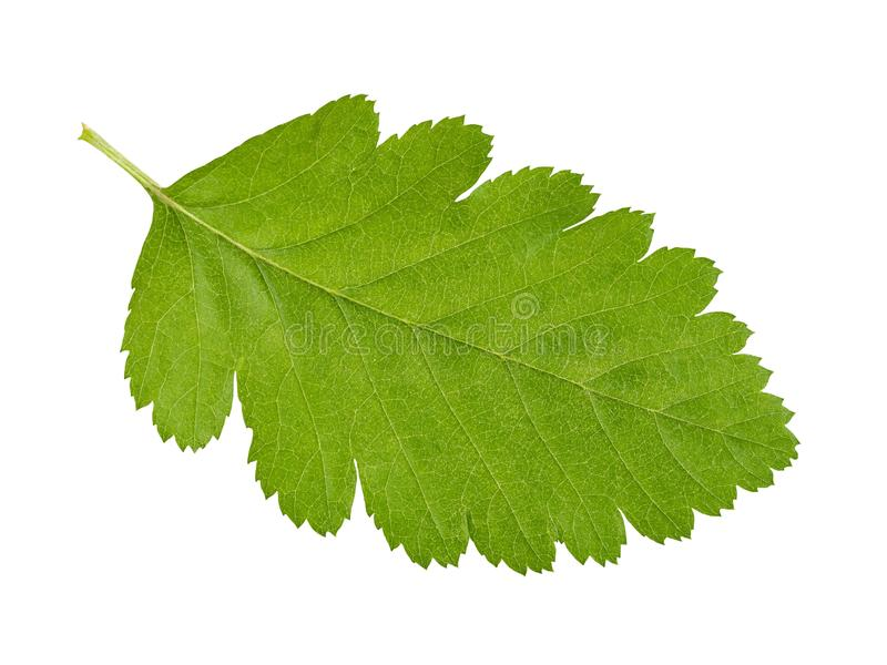 在白色的绿色叶子 免版税库存照片
