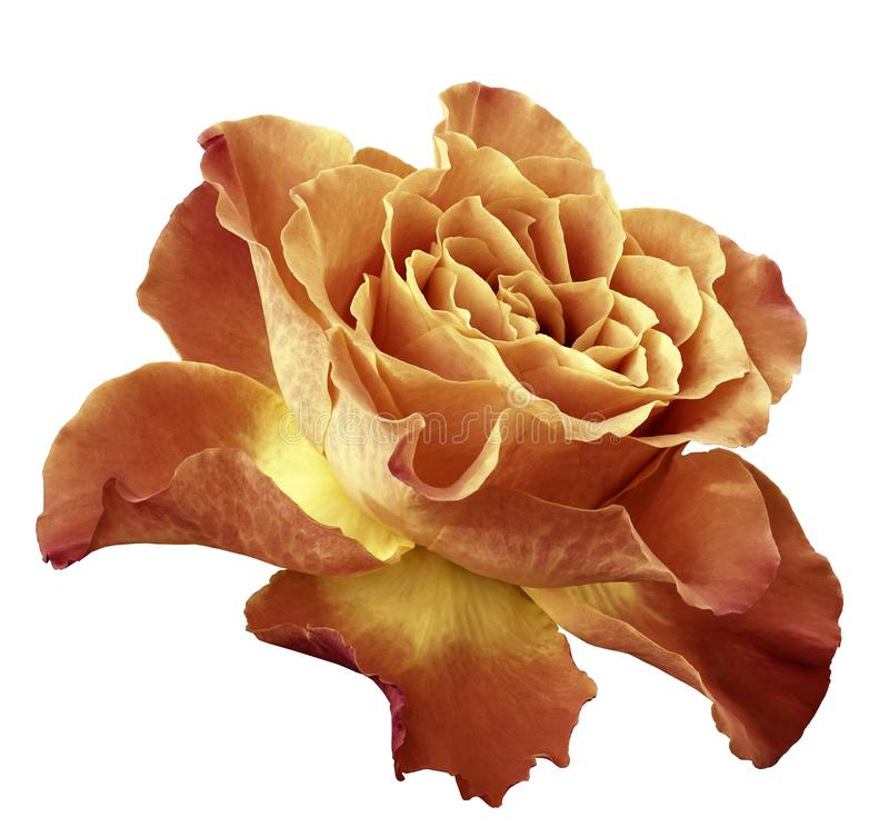在白色的罗斯橙黄花隔绝了与裁减路线的背景 侧视图 特写镜头 免版税库存图片