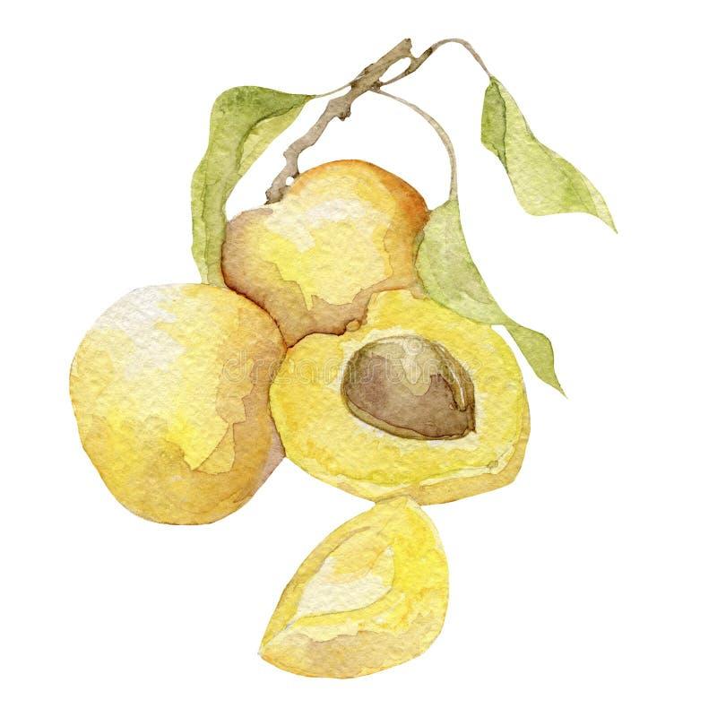 在白色的美丽的水彩杏子 皇族释放例证