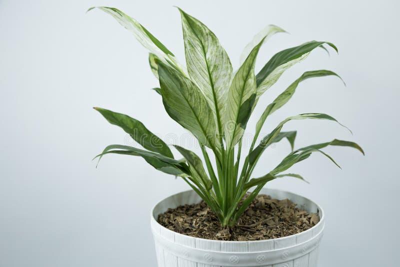 在白色的花盆的室内植物在明亮的白色墙壁附近的一张桌上 免版税库存照片