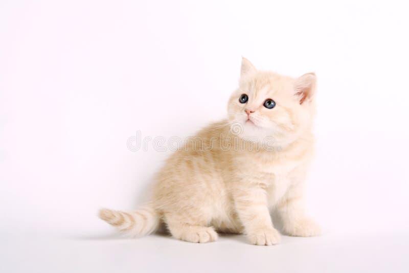 在白色的苏格兰strite小猫 库存图片