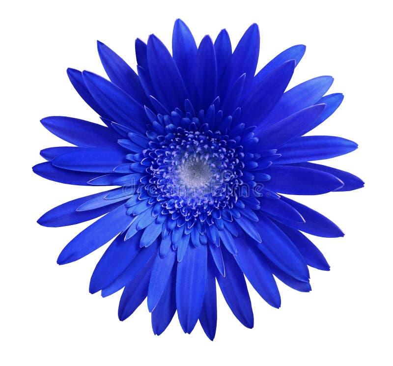 在白色的蓝色大丁草花隔绝了与裁减路线的背景 特写镜头 没有影子 对设计 库存照片