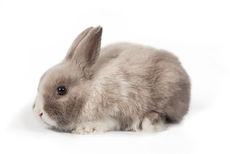 在白色的蓬松矮小的逗人喜爱的小兔隔绝了背景 免版税图库摄影