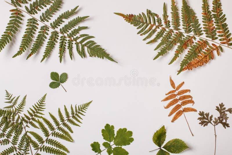 在白色的蕨分支 免版税库存照片