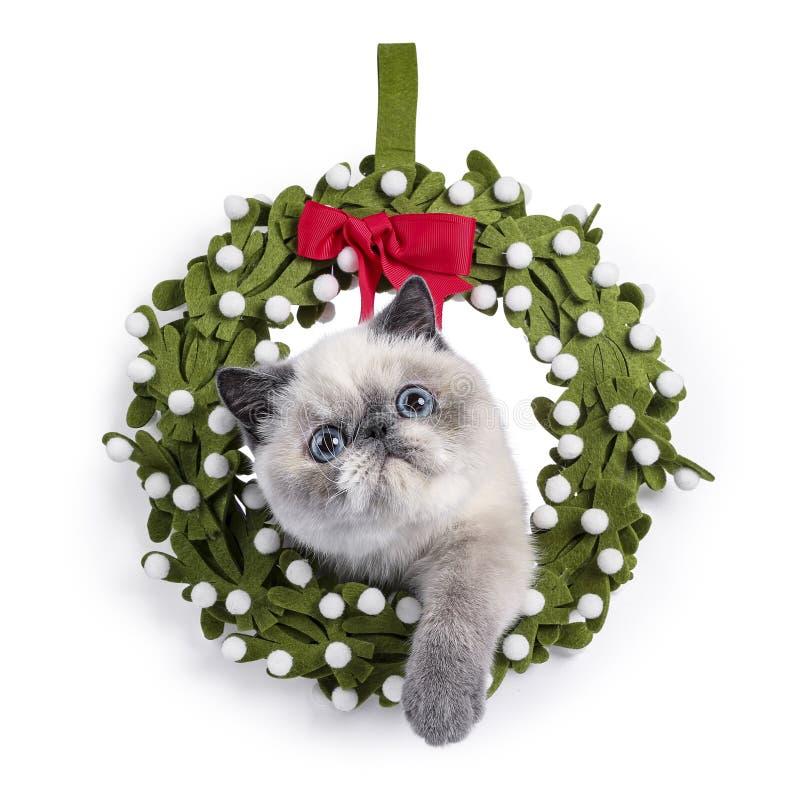 在白色的逗人喜爱的异乎寻常的Shorthair小猫 库存图片