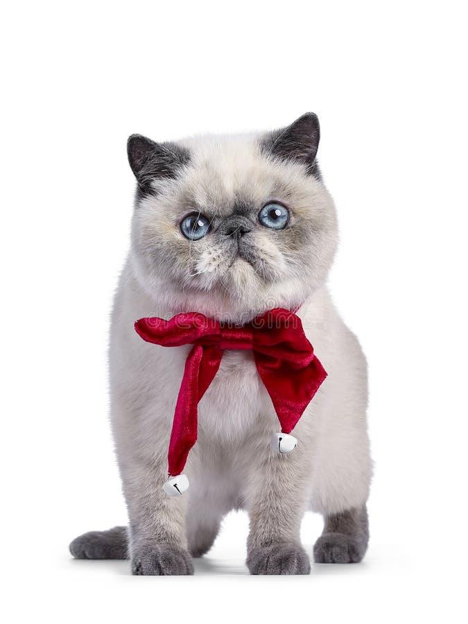 在白色的逗人喜爱的异乎寻常的Shorthair小猫 库存照片