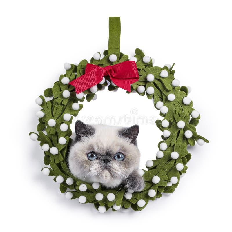 在白色的逗人喜爱的异乎寻常的Shorthair小猫 免版税库存照片