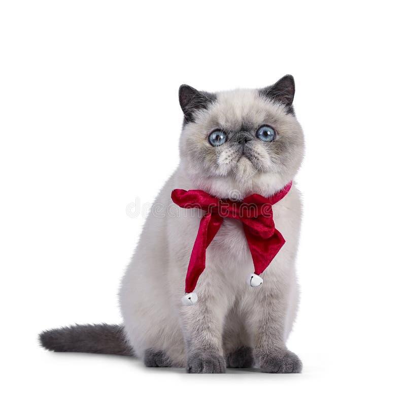 在白色的逗人喜爱的异乎寻常的Shorthair小猫 免版税图库摄影