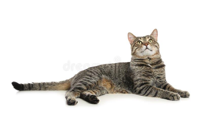 在白色的逗人喜爱的虎斑猫 免版税库存图片
