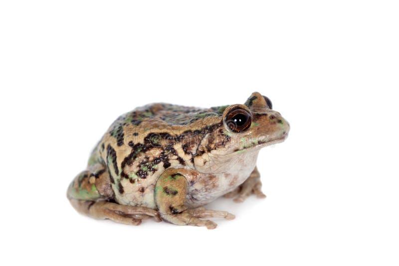 在白色的里奥班巴有袋动物的青蛙 免版税库存图片