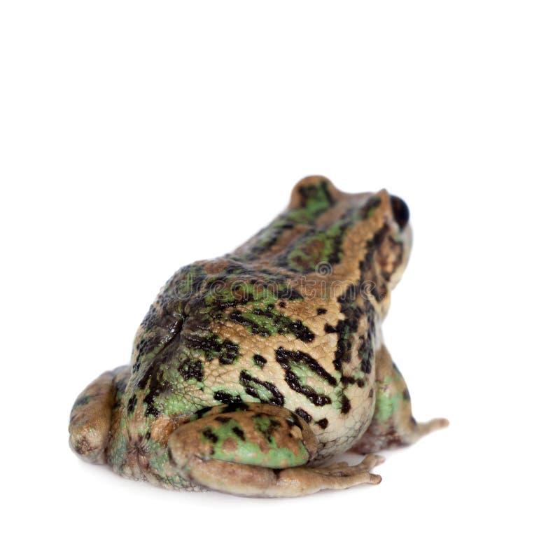 在白色的里奥班巴有袋动物的青蛙 免版税库存照片