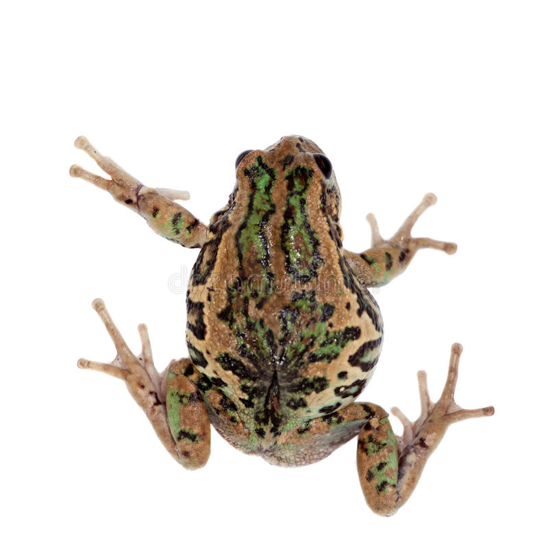 在白色的里奥班巴有袋动物的青蛙 库存照片