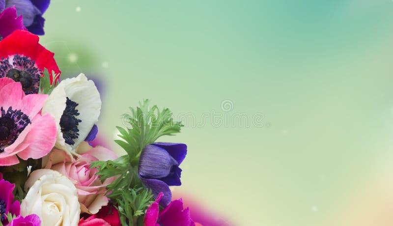 在白色的银莲花属 免版税库存照片