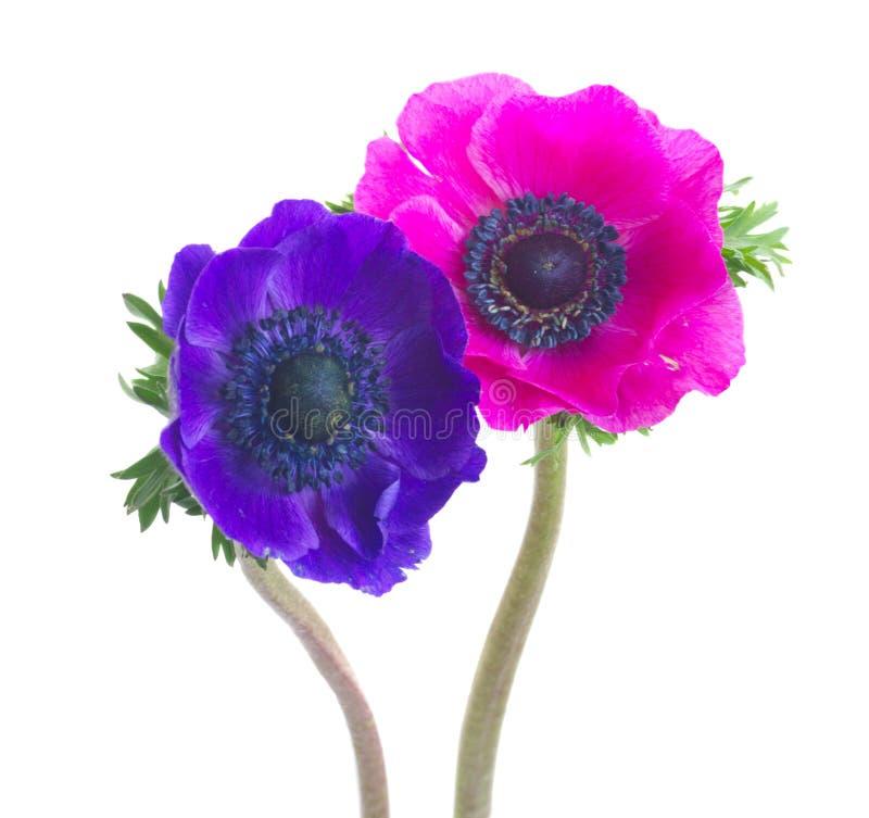 在白色的银莲花属 库存图片