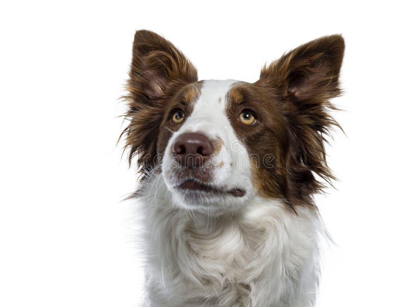在白色的顶头被射击的博德牧羊犬 免版税库存照片