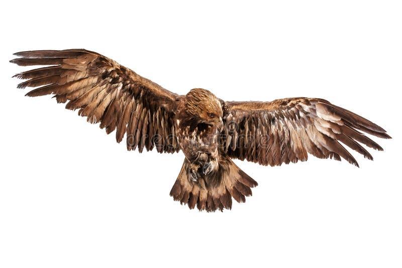在白色的飞行老鹰 免版税库存照片