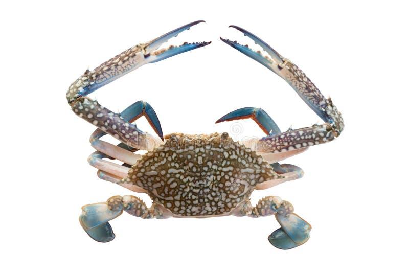 在白色的马螃蟹 免版税图库摄影