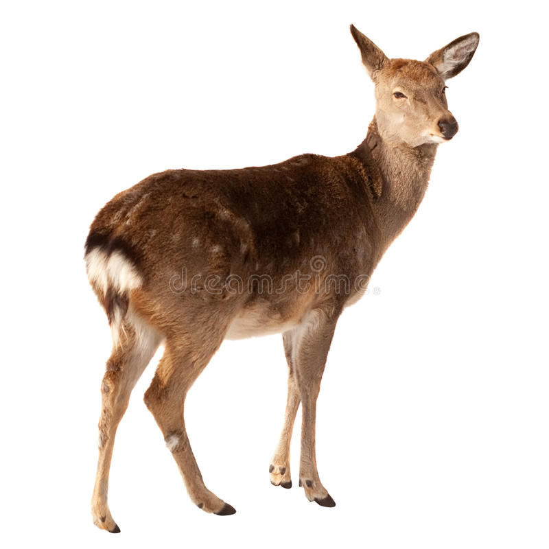 在白色的鹿女性 库存照片