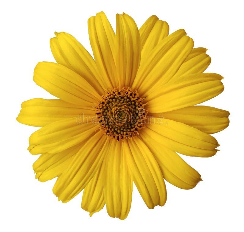 在白色的黄色雏菊花隔绝了与裁减路线的背景 为设计,纹理,明信片,封皮开花 特写镜头 免版税库存照片