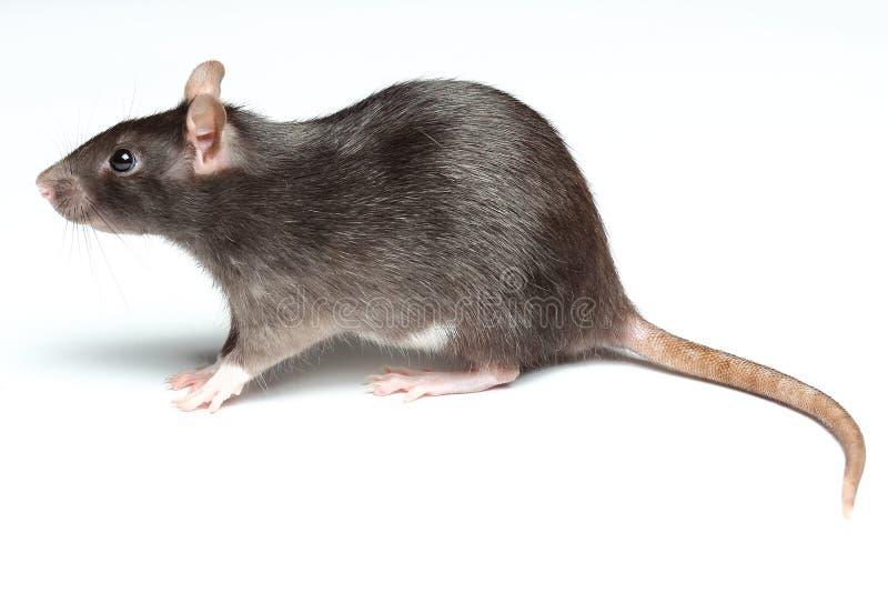 在白色的黑鼠 免版税库存照片
