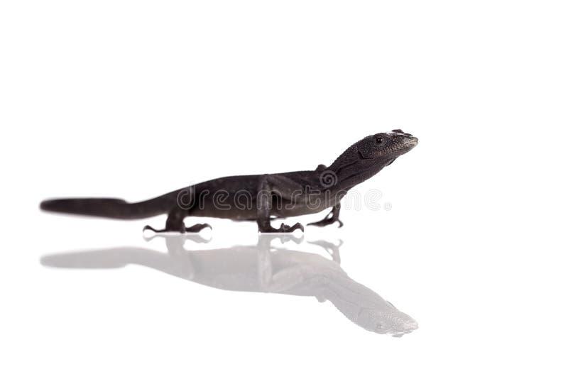 在白色的黑树监控蜥蜴 免版税库存图片
