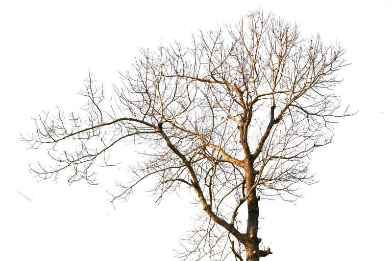 在白色的死的树 库存照片