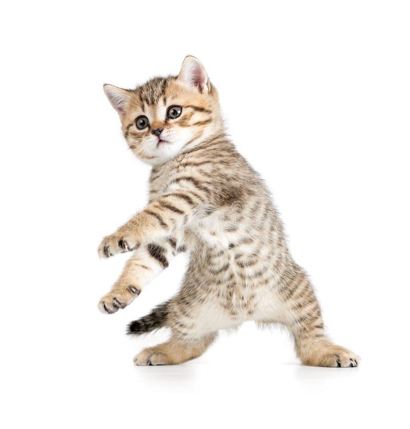 在白色的滑稽的跳舞小猫 免版税库存图片