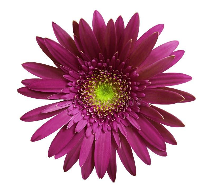 在白色的紫罗兰色大丁草花隔绝了与裁减路线的背景 特写镜头 没有影子 对设计 库存照片