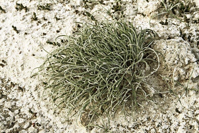 在白色盐味的土背景的绿色青苔 免版税图库摄影