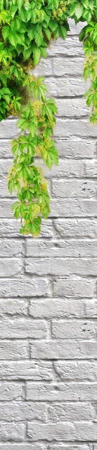 在白色砖墙,写的空格上的绿色常春藤 免版税库存照片