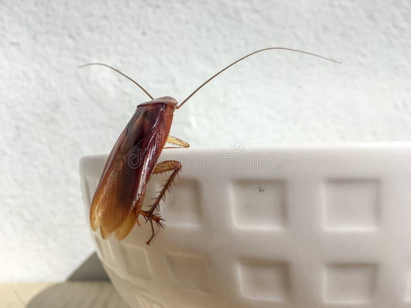 在白色碗边缘的接近的蟑螂  库存图片