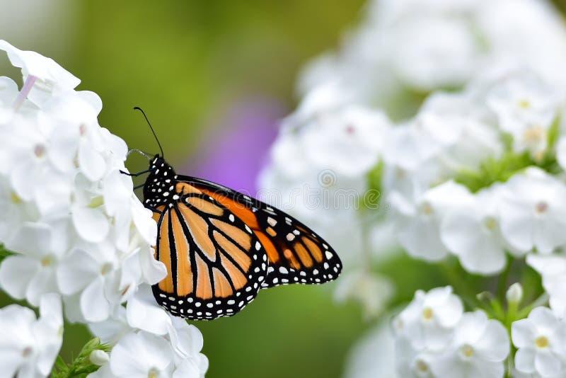在白色福禄考花的黑脉金斑蝶 库存照片