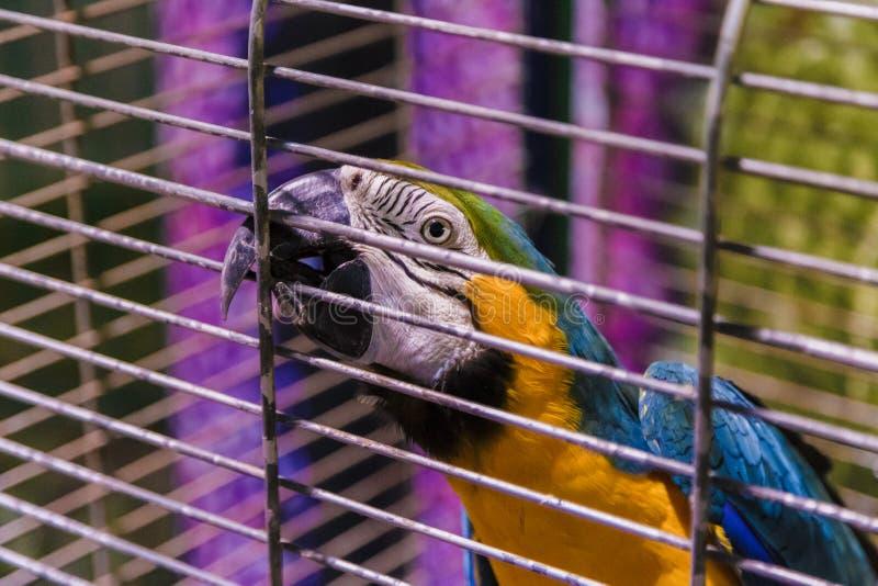 在白色笼子的大五颜六色的鹦鹉 免版税库存图片
