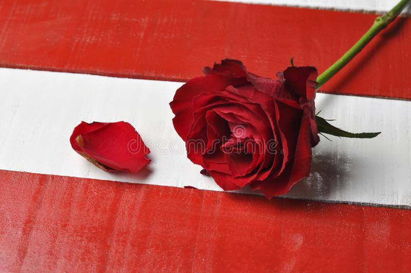 在白色红色背景的红色玫瑰 库存图片