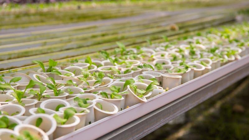 在白色罐的新鲜的绿色幼木 从种子的生长植物 在塑料罐的花树苗 免版税库存图片