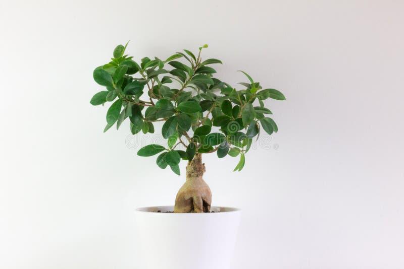 在白色罐的盆景类型榕属,有白色背景 库存图片