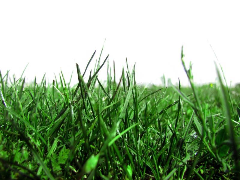 在白色背景一的水多的草 库存照片