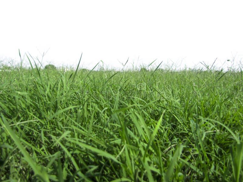 在白色背景一的水多的草 免版税图库摄影