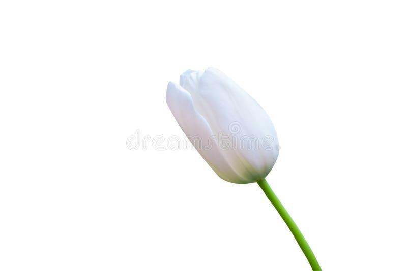 在白色背景上封闭白色郁金香 免版税库存照片