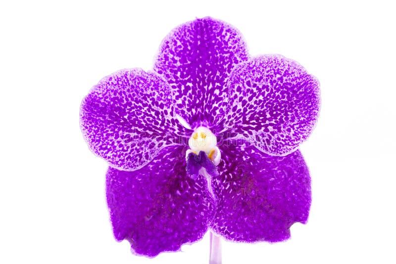 在白色背景与水下落的美丽的紫色兰花花隔绝的 库存图片