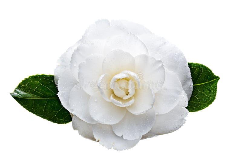 在白色背景与露滴的白色山茶花花隔绝的 免版税库存图片
